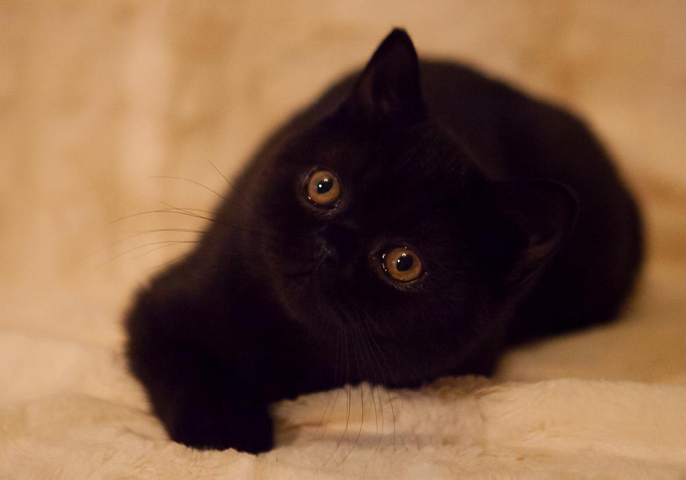 черный британский котенок