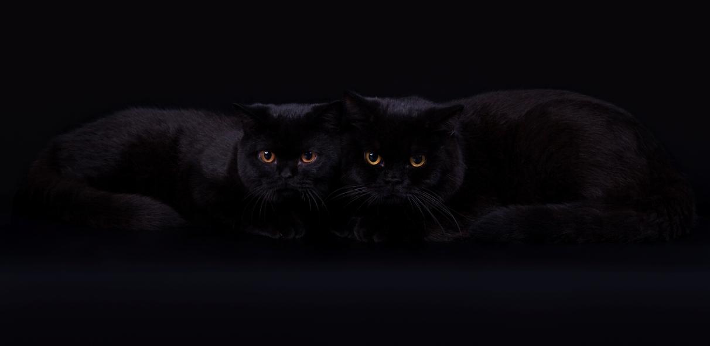 Черные британцы, черный британский котенок, Британские котята