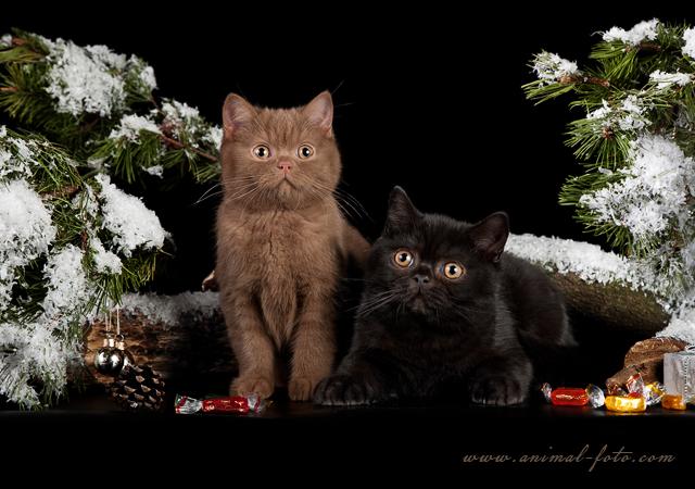 Британский Кот окраса циннамон