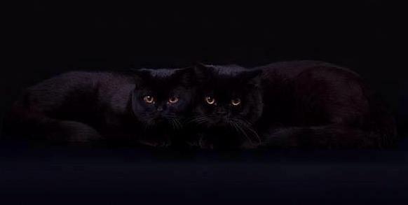 Черные и циннамоновый британские котята