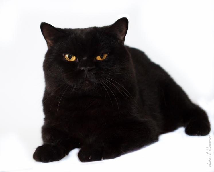 Лучший Черный Британский кот
