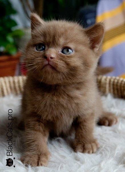 cinnamon british kitten