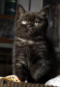 Британский короткошерстный черного окраса кот Арнольд в 2 месяца