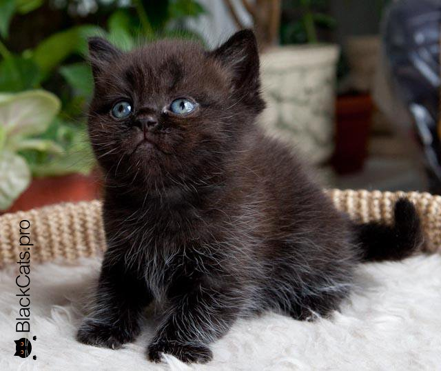 black british kitten
