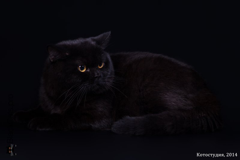 BEST BLACK BRITISH SHORTHAIR OF THE YEAR