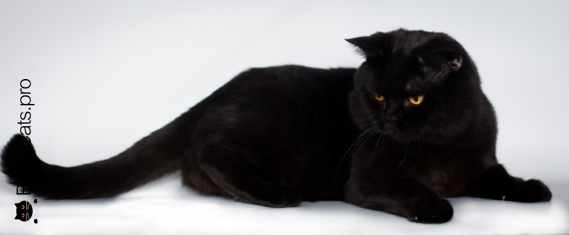 BEST BLACK BRITISH SHORTHAIR