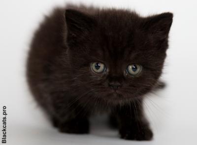 black british kitten, черный британский котенок
