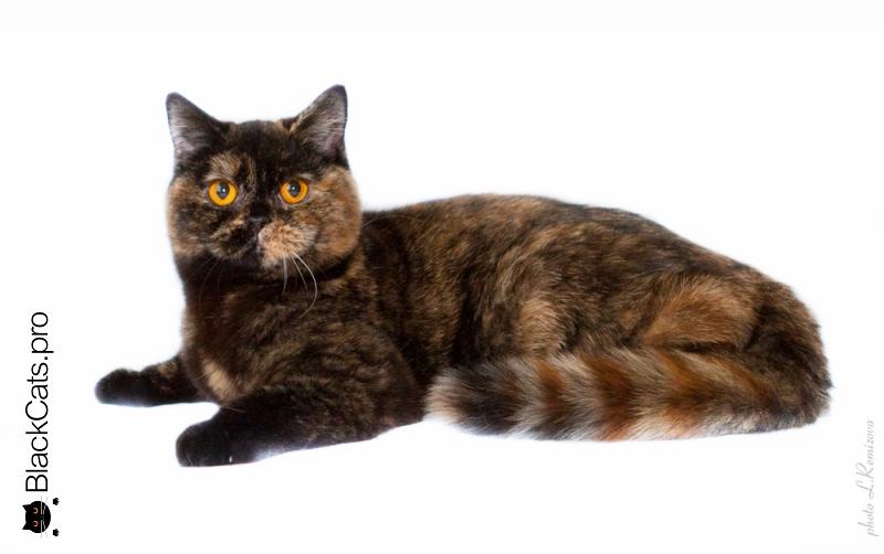черная черепаховая британская кошка