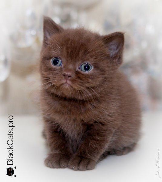 Шоколадный британский котенок в Москве
