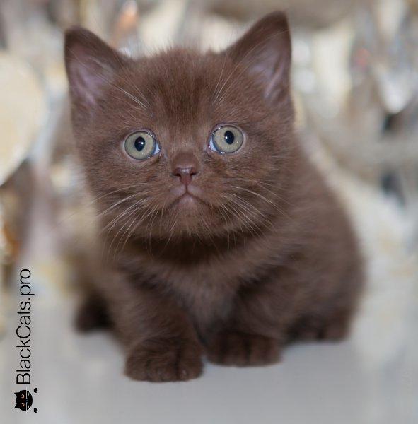 Купить Шоколадного британского котенка в Москве