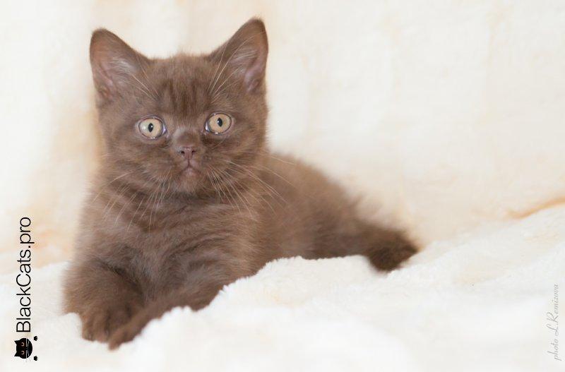 Шоколадный британский котенок купить
