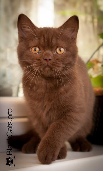 Шоколадный британский котенок