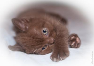 Купить шоколадный британский котенок в Москве