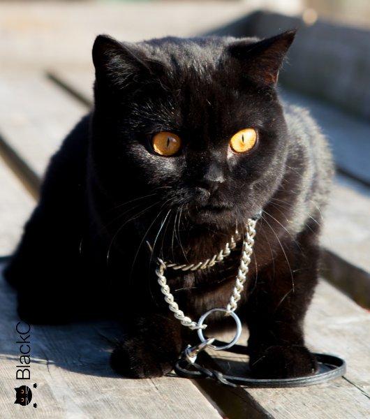 британские кошки в добрые руки