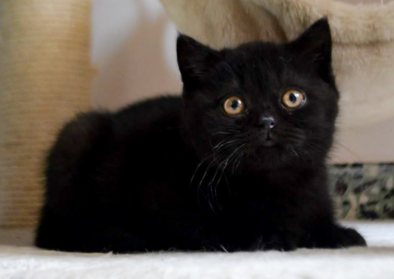 DM Salonicat*GR Daiva Black Queen  38-days-old