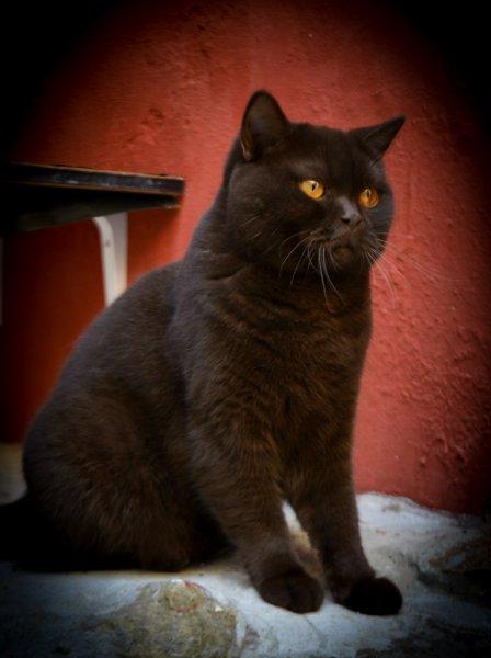 Double Master GICH. Salonicat*GR Daiva Black Queen