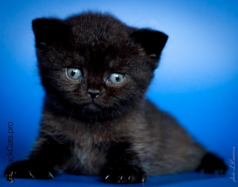 Черная британская кошка