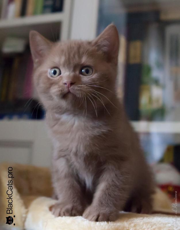 Британские котята 2 месяца