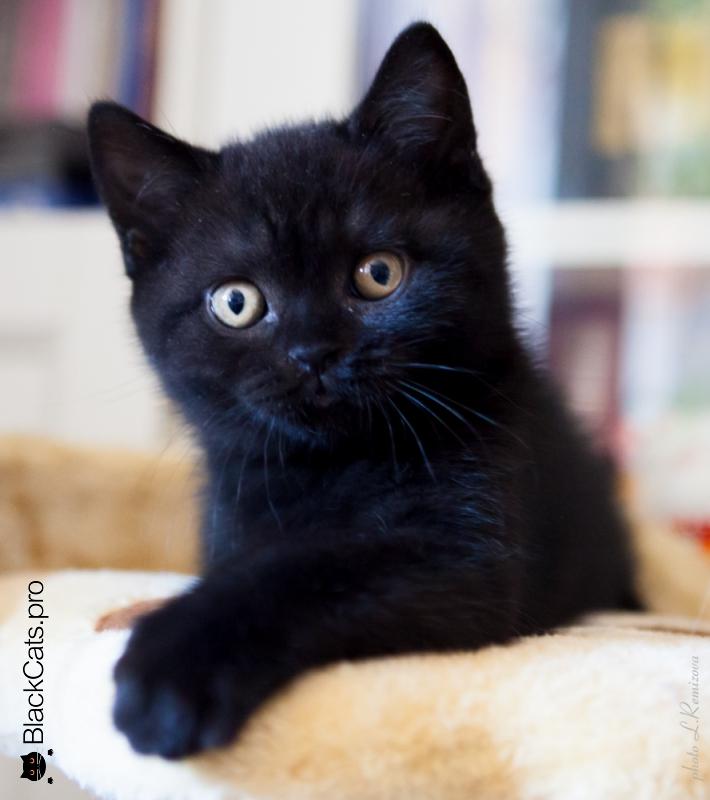 котята британские черные фото