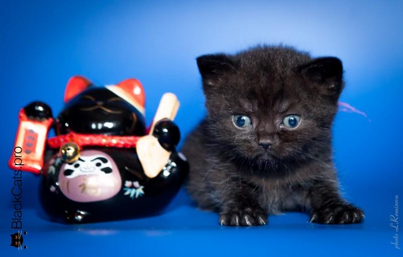 Купить черную британску кошку в Москве