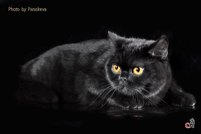 Купить британский котенок в Москве