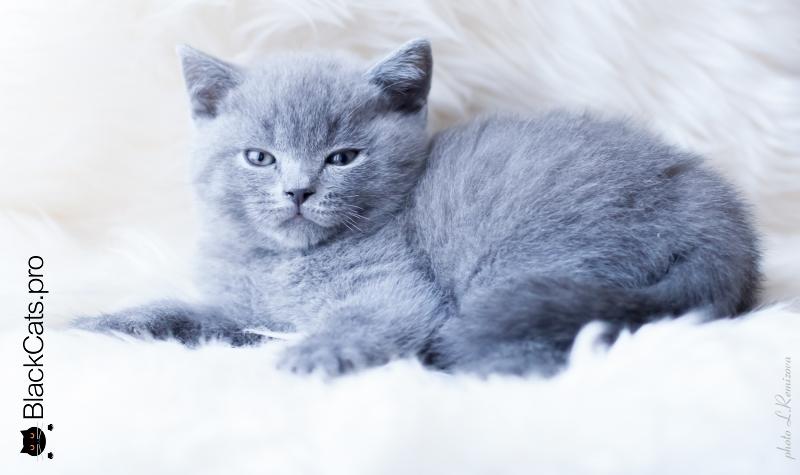 голубой британский котенок питомник