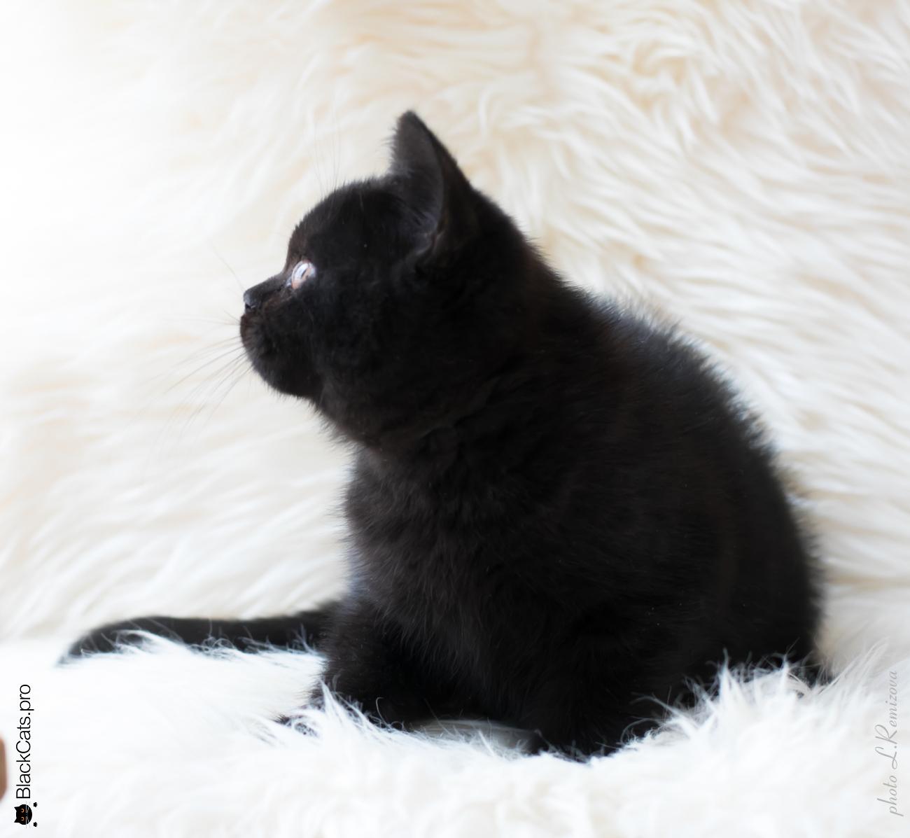 Baronessa Black Jetstone 3 month 5 days