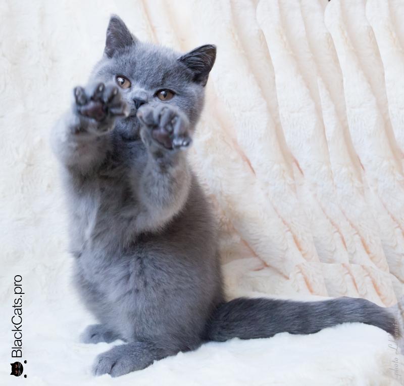 голубая британская кошка