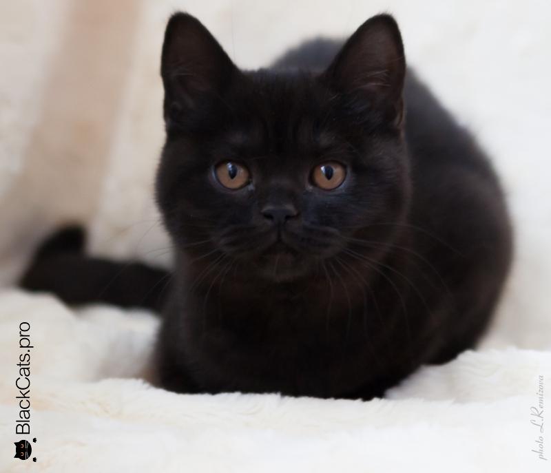 Черная британская кошка Great Esther Black