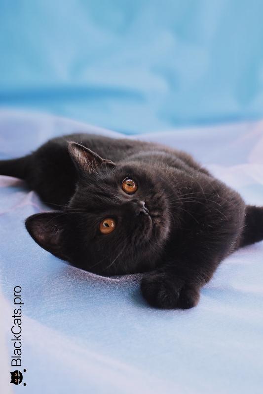 Купить Британского котенка