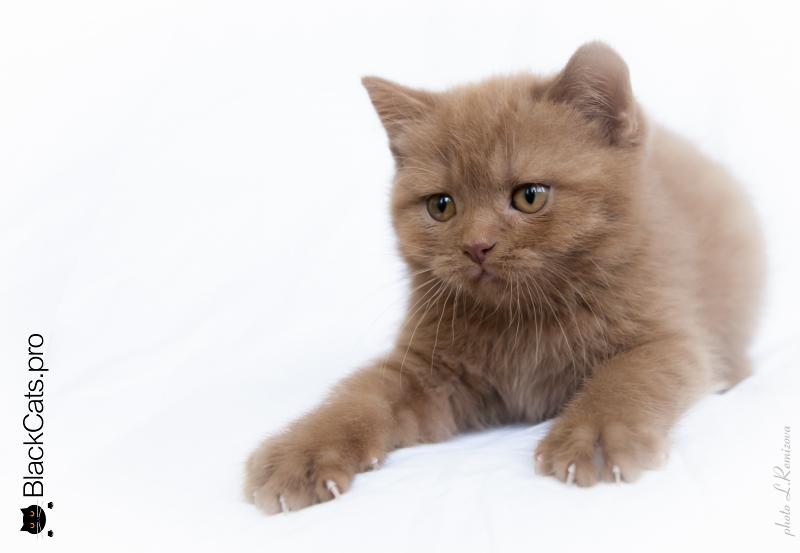 Британский кот Циннамон
