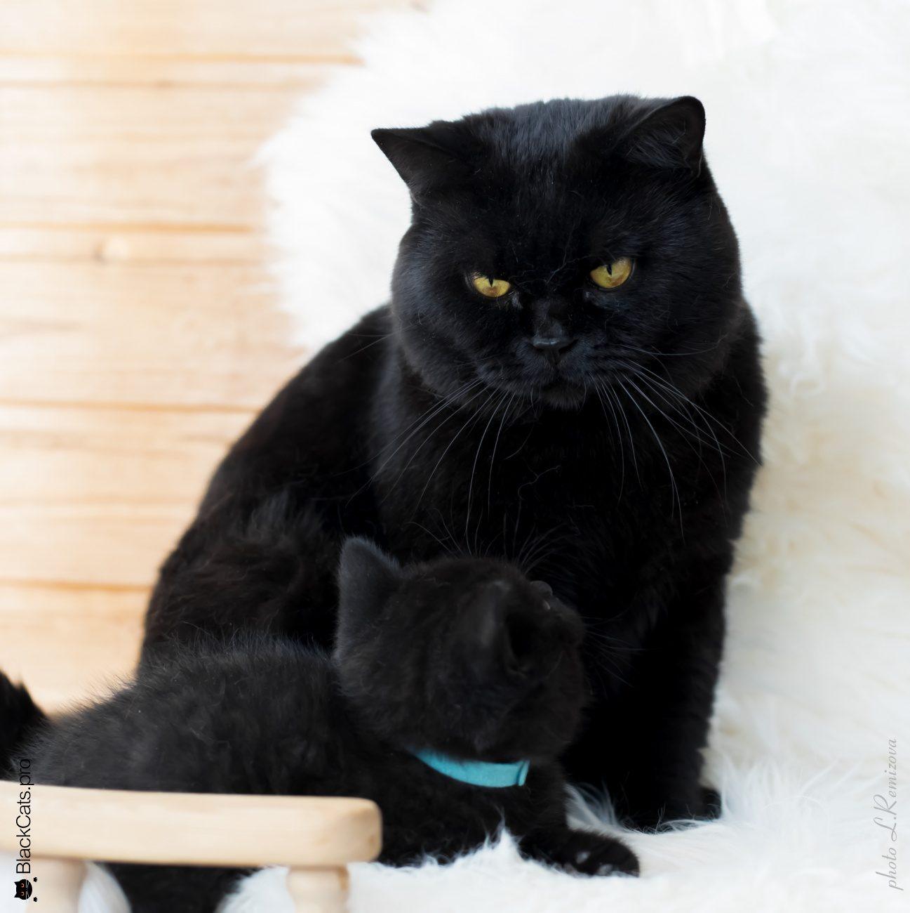 Купить котенка Британца в Москве