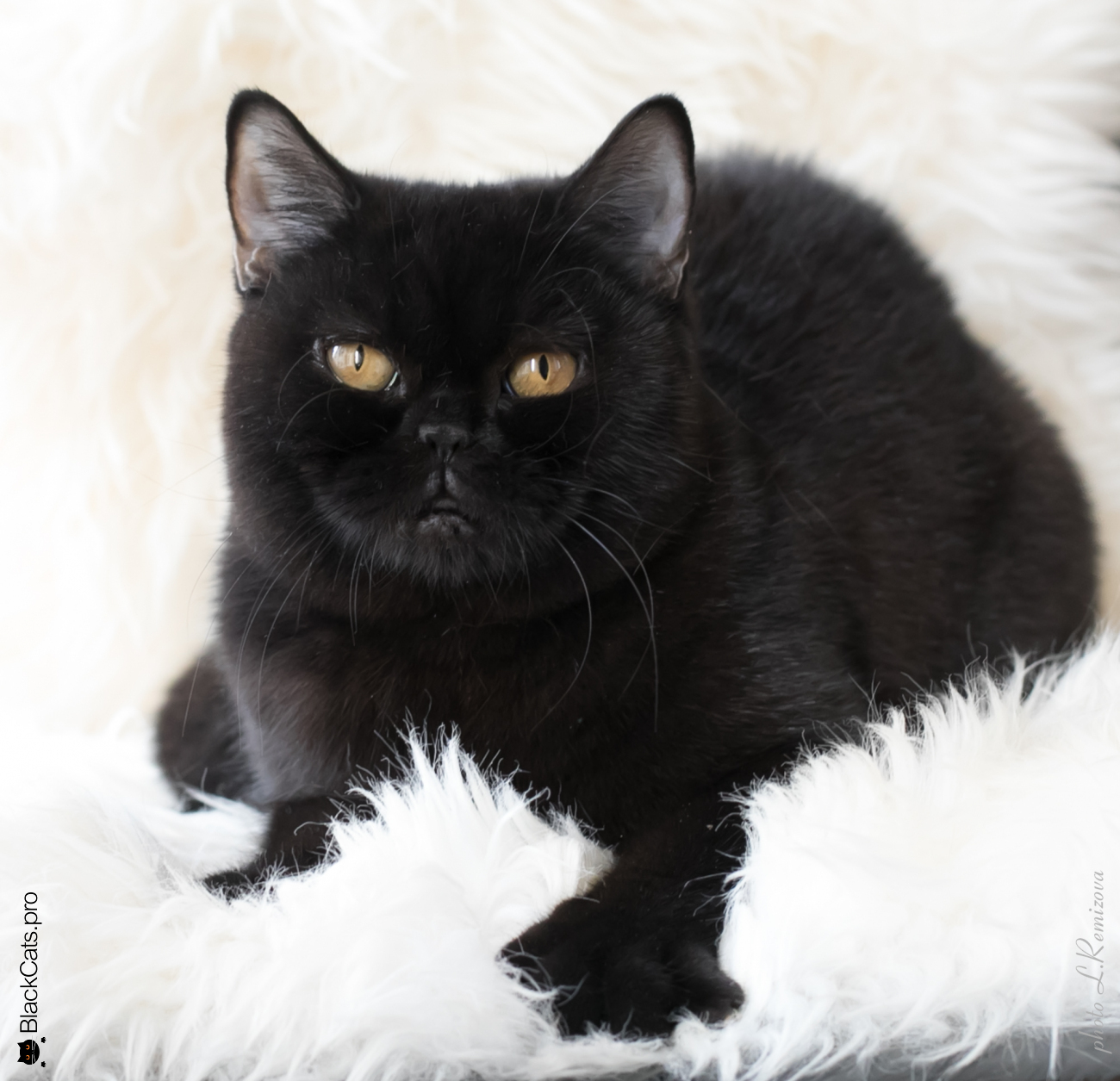 Royal Hot Couture Black Jetstone 8,5 months