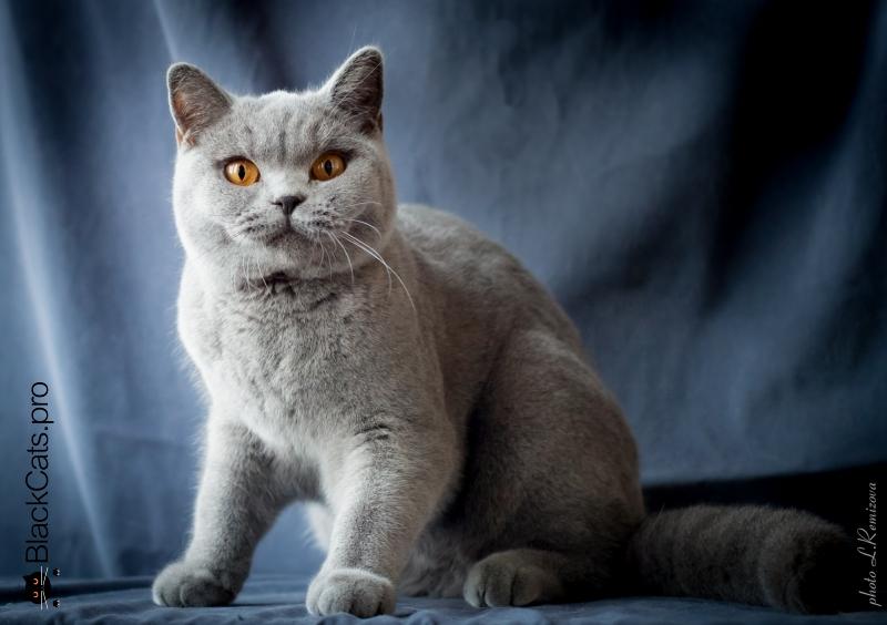 Купить голубую британскую кошку