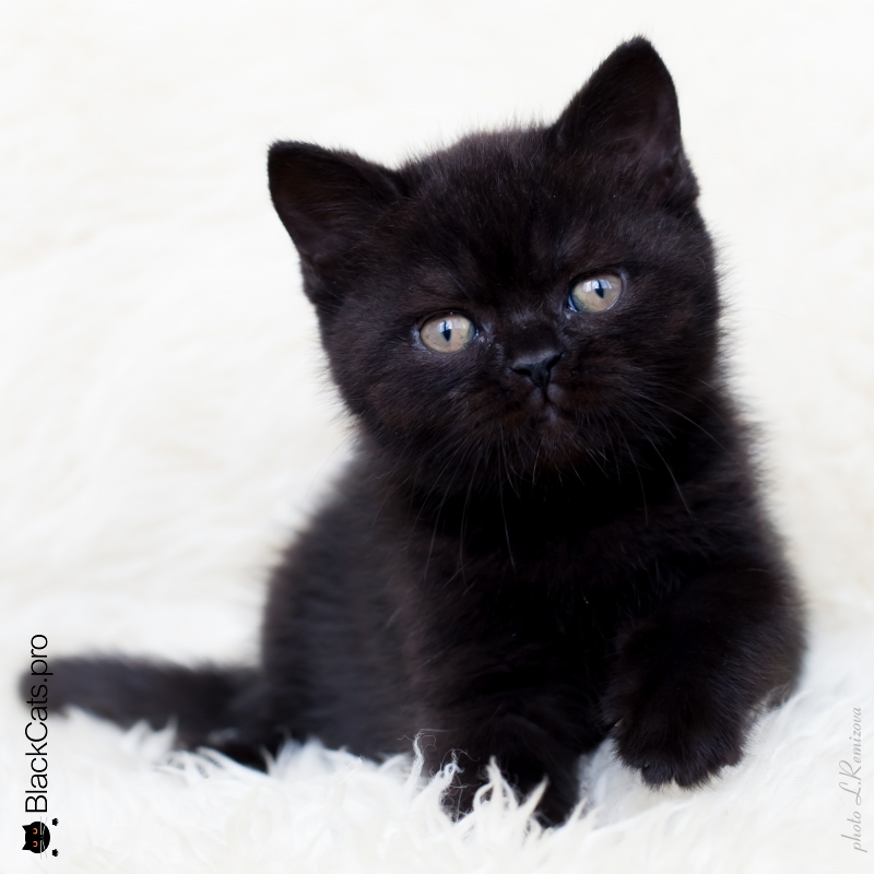 Lion Black 2 months