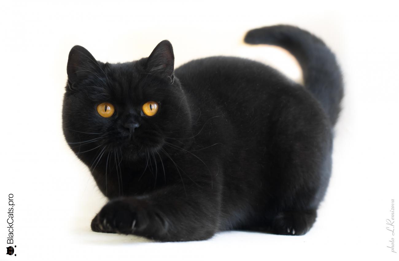 купить черную британскую кошку в питомнике