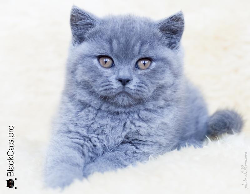 голубая британская кошка питомник
