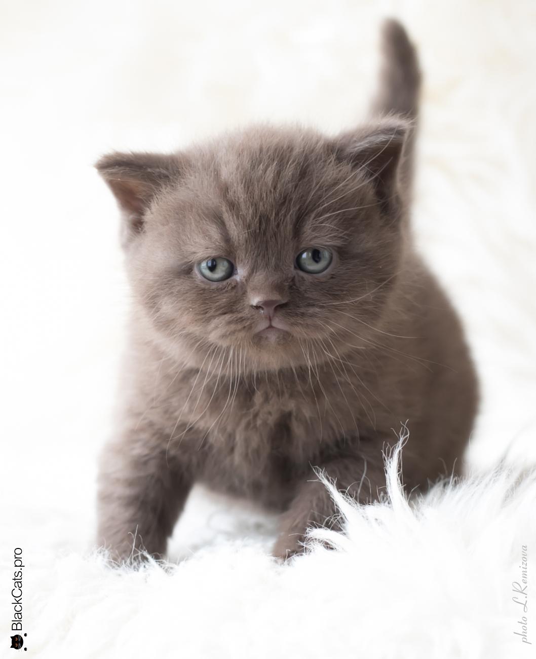 купить шоколадную британскую кошку в Москве