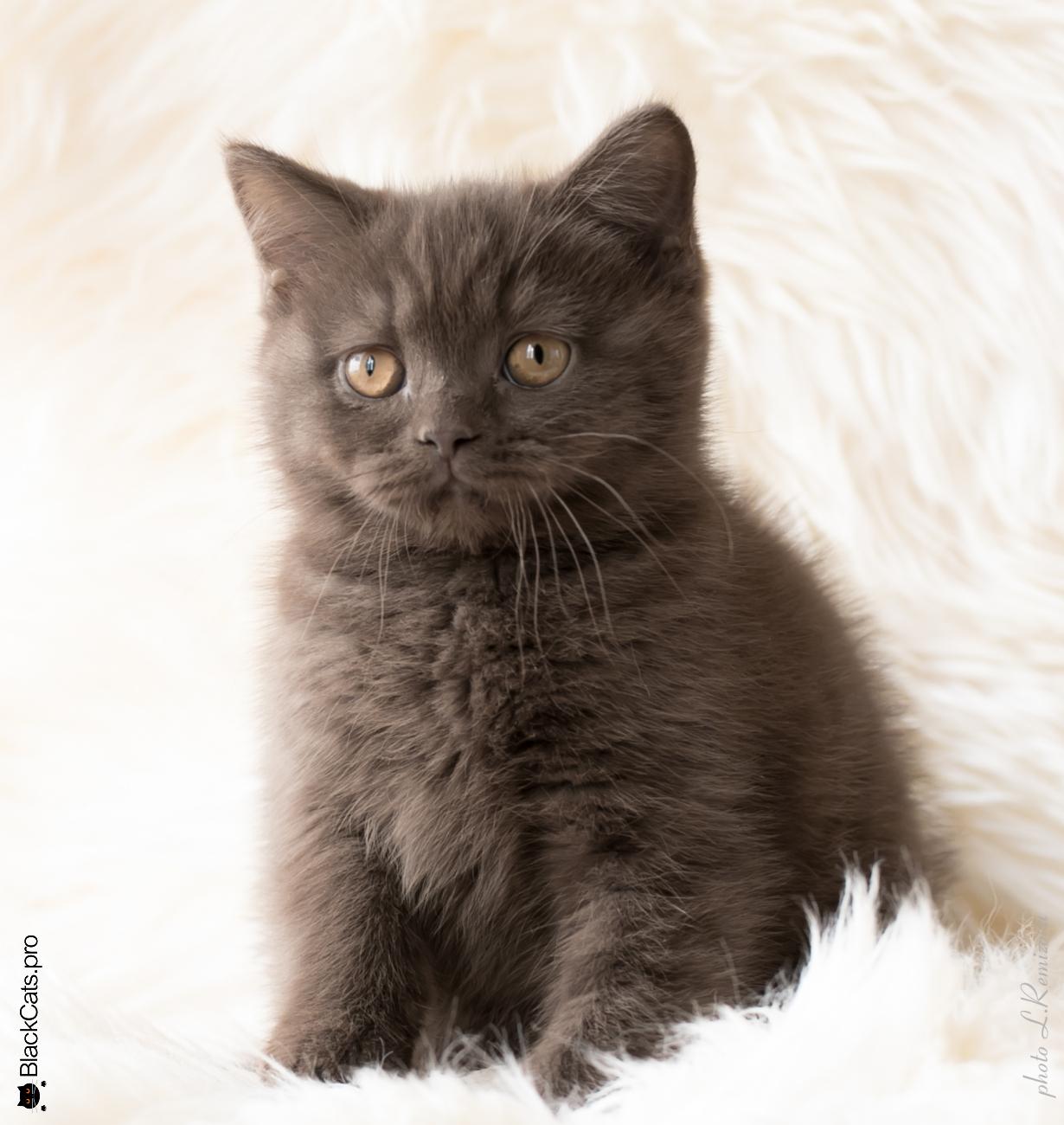 купить шоколадную британскую кошку