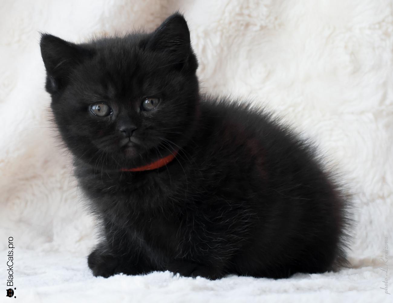 Купить черную британскую кошку