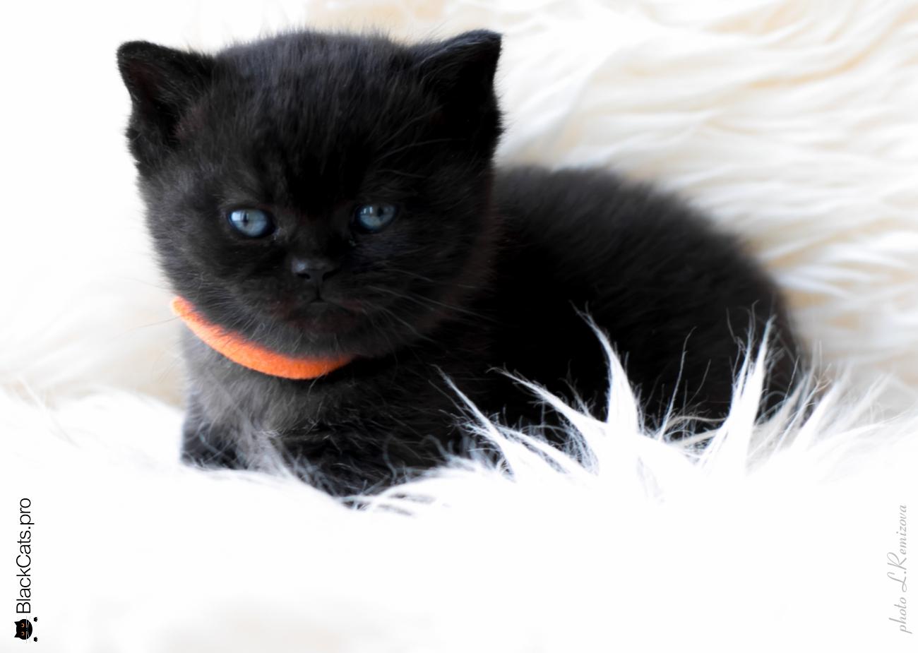 """Черный британский котенок 1 месяц. Питомник """"Jetstone"""""""