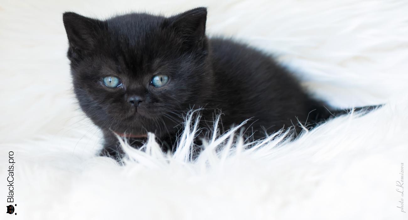 """Черный британский котенок 1 месяц 5 дней. Питомник """"Jetstone"""""""