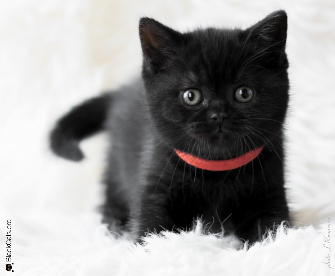 """Черный британский котенок 1,5 месяца. Питомник """"Jetstone"""""""