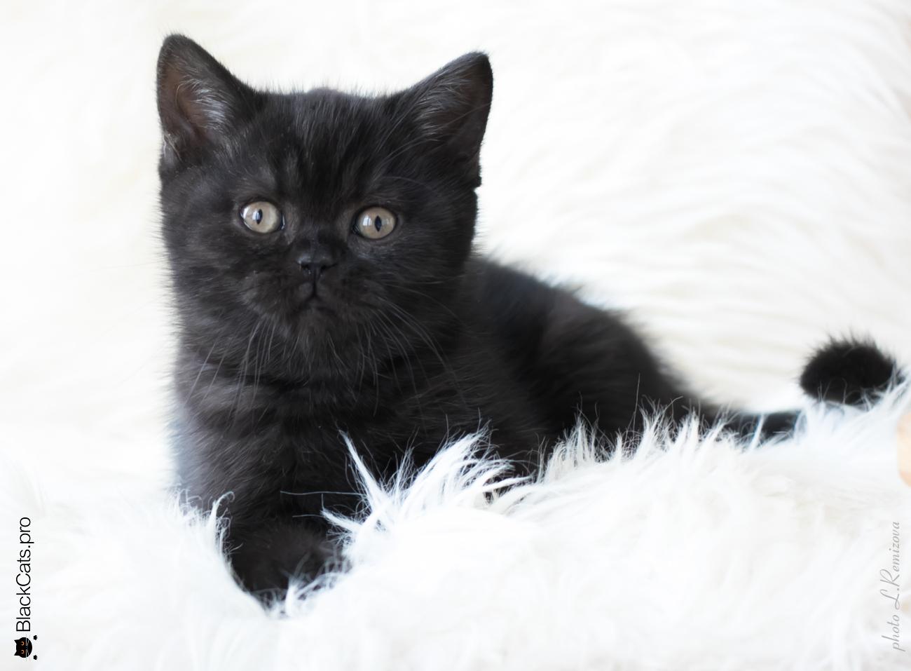 черная британская кошка 2 месяца. Питомник Jetstone