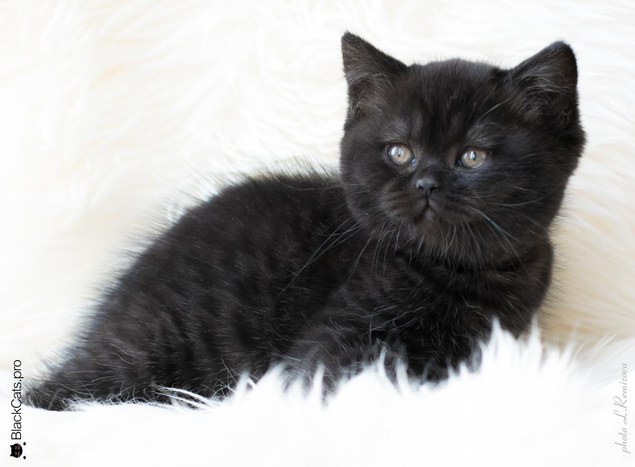 Черный британский кот 2 месяца. Питомник Jetstone