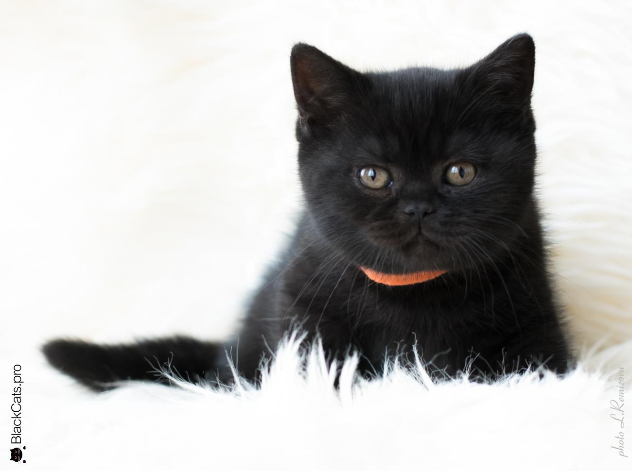 """Черный британский котенок 2 месяца. Питомник """"Jetstone"""""""