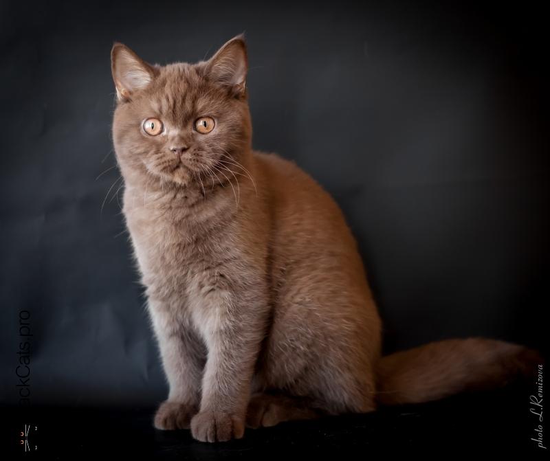 шоколадная британская кошка