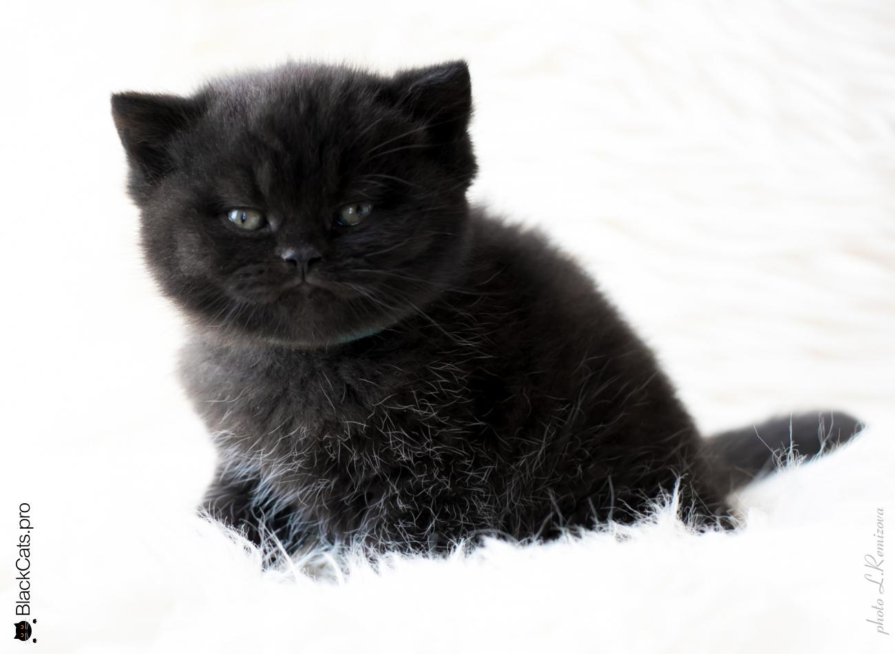 Черный Британский кот. Питомник Jetstone