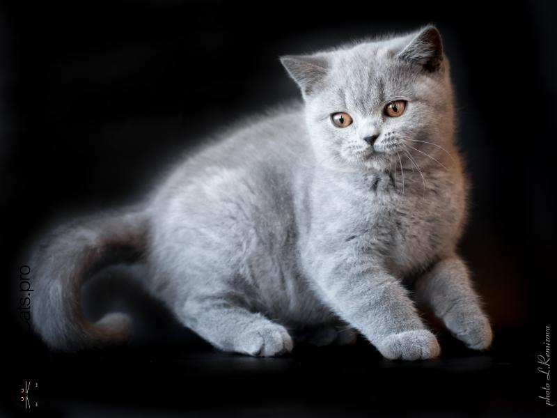 Голубой британский кот