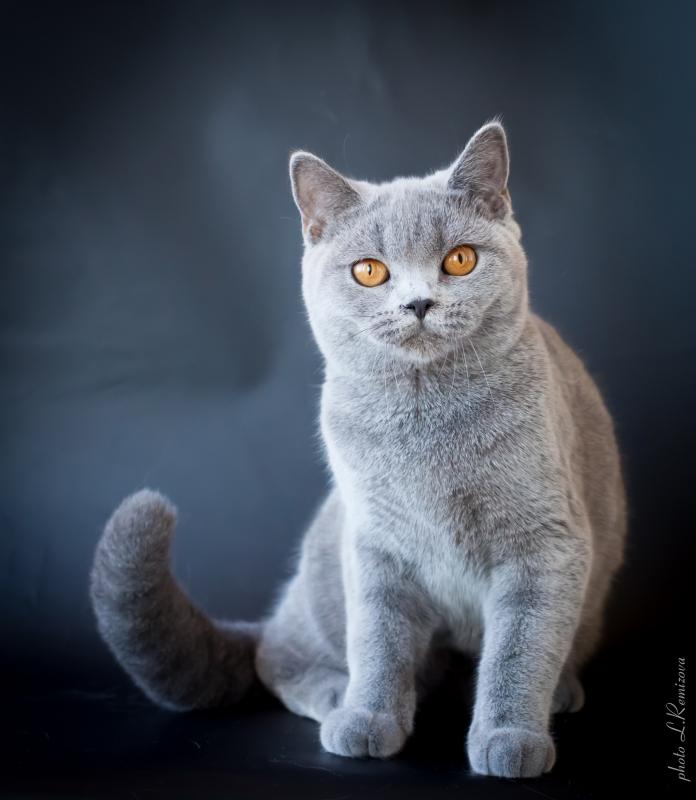 купить британскую кошку